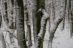 ckuchem-1632 (christine_kuchem) Tags: baumrinde buche bume eiche eis frost hainbuche natur pfad pflanzen ruhe samen spuren stille struktur wald weg wildpflanzen winter einsam kalt schnee ste