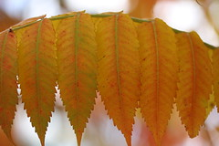 Autumn Sumac Leaves (CCphotoworks) Tags: ccphotoworks stockphotos shutterstock rows leaves fallcolours colours fall outdoors nature autumn sumacleaves