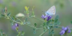 una piuma... (andrea.zanaboni) Tags: farfalla butterfly colori colors macro nikon autunno autumn delicata nikonflickrtrophy wow
