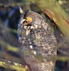 Long-eared Owl (glenbodie) Tags: glen bodie glenbodie dncb dike 201350 longeared owl