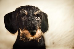 Hi everyone! My name is Milonga (RoCafe) Tags: milonga puppy dog dachshund kaninchen teckel portrait black fire cute adorable 4monthsold nikkormicro105f28 nikond600