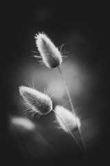 Douceur florale (dono heneman) Tags: douceur doux softness soft noiretblanc nb blackwhite vgtal vegetal vgtation florale fleur floral flower nature paimboeuf loireatlantique paysdelaloire france pentax pentaxart pentaxk3