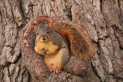 136/365/3058 (October 25, 2016) - Squirrels in Ann Arbor at the University of Michigan (October 25, 2016) - Explored! (cseeman) Tags: squirrels annarbor michigan animal campus universityofmichigan umsquirrels10252016 fall eating peanut octoberumsquirrel 2016project365coreys yearnineproject365coreys project365 p365cs102016 356project2016 exploredcseeman gobluesquirrels umsquirrel