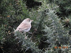 Photo of Booted warbler 1