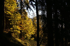 Black and gold, Forni di Sopra - Italy (teo683) Tags: autumn autunno fornidisopra dolomiti montagna mountain bosco wood friuli italia italy