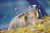 Marmotta, Gran Paradiso National Park, Italy, 2016 (mimipet.com) Tags: italy italia piedmont piemonte granparadisonationalpark granparadiso nationalpark savetheearth marmotta marmots animal marmot outdoor