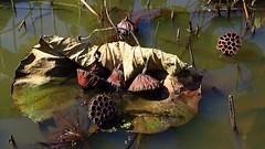 Fall of the lotusses (langkawi) Tags: kenilworthaquaticgardens nationalpark lotus nelumbo dc metro seedpods seedpod