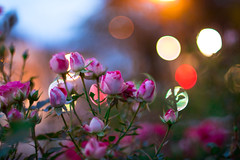 IMG_5919 (Lens a Lot) Tags: rose night light paris | 2016 fujinon ebc 50mm 14 6 blades m42 f14 flower bokeh depth field color yellow green white vintage manual japanese prime lens extrieur profondeur de champ fleur plante fujinon50mmf14
