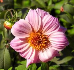 Beautiful Pink Dahlia (AngelVibePhotography) Tags: nikon dahlias blossom flower blossoms closeup nature photography garden dahlia pink nikonp900 depthoffield macro flowers northcarolina outdoor