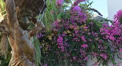 Fuente de la Plaza de los Higuitos ALMUCAR (Toms Hornos) Tags: fuente buganvillas flores trepadoras plaza almucar costatropical costagranada escultura estatua ngel agua flor planta airelibre