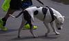 Dog Walking (swong95765) Tags: neon dog canine pet animal cute walk leash distraction