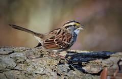 White-throated Sparrow by Jackie B. Elmore 11-21-2016 Lincoln Co. KY (jackiebelmore) Tags: zonotrichiaalbicollis whitethroatedsparrow sparrow lincolnco kentucky nikon7100 tamronsp150600f563 jackiebelmore kos