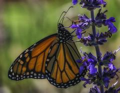 Monarch_SAF1948 (sara97) Tags: danausplexippus butterfly flyinginsect insect missouri monarch monarchbutterfly nature outdoors photobysaraannefinke pollinator saintlouis towergrovepark copyright2016saraannefinke