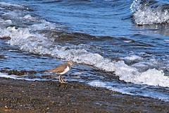 Calidris alpina (eriko_jpn) Tags: river toneriver bird calidrisalpina dunlin