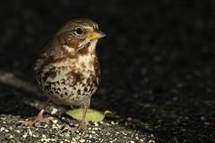 Bruant fauve 17T4391 (Ren Pelletier) Tags: iliaca passerella sparrow fox fauve bruant