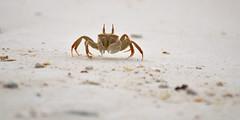 Crab (Arushad) Tags: arushad maldives arushadahmed beach crab dash8x island sand tropical uleguma uligam uligamu uligan