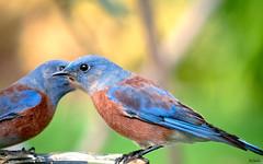 Blues-036 (Pat Durkin OC) Tags: westernbluebird sialiamexicana