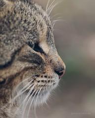 Cat (yavuzselimturan) Tags: cat kedi portre portrait animal pet beauty