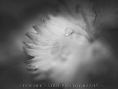 Through It All (stewartbaird) Tags: flowersplants closeup macro blackandwhite flower nature