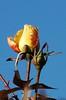DSC_2109 (PeaTJay) Tags: nikond70s reading lowerearley berkshire macro micro closeups gardens outdoors nature winter frost flora fauna plants flowers rose roses rosebuds