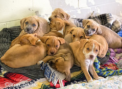 Pile Of Puppies! (Mimi Ditchie) Tags: puppy puppies dogs dog adoptable woodshumanesociety