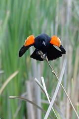 Red-winged Blackbird (Delta Naturalists Casual Birding) Tags: 201619 dncb colony dncblocation dncboutingid