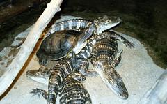 lb-019-2002-011 (Paul-W) Tags: connecticut mysticaquarium 2002 vacation mystic turtle alligator crocodile