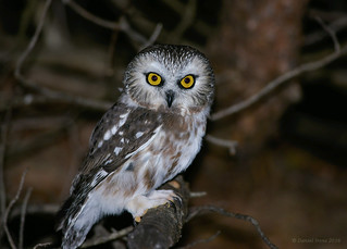 Northern Saw whet Owl (Explored#6)