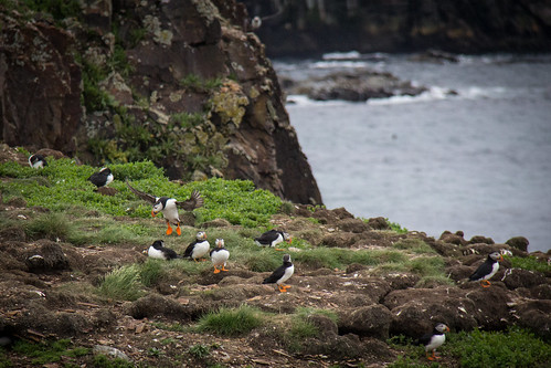 Puffins at Elliston 13