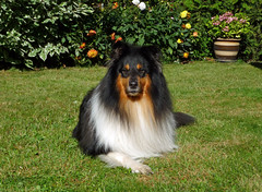 He know he's pretty (Schwanzus_Longus) Tags: rough collie dog doggie dogs fluffy german germany good home hund male pet puppy tricolor haustier tier outdoor delmenhorst