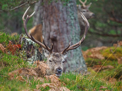 """Say """"Cheese"""" (Highlandscape) Tags: em5 stag landscape cervus elaphus scoticus nature outdoor rural weather rocks httphighlandscapezenfoliocom glen cannich rut stags british olympus natural mammal water beauty red deer fall antlers animal scotland ecosse autumn highland countryside fur hill wildlife"""