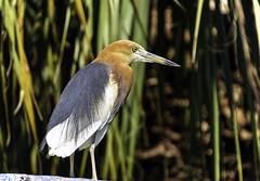 Javan Pond Heron (C. P. Ewing) Tags: bird birds animal animals avian exotic nature natural outdoor wildlife heron javan