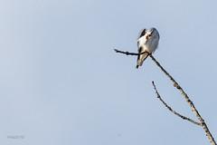 Elanion blanc (sfrancois73) Tags: oiseau faune élanionblanc