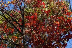 IMG_0006_2 Up Against the Blue (oldimageshoppe) Tags: leaves redoak bluesky fall