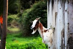 The goat whisperer... (Mario Pellerito) Tags: canon eos 60d 18135 natura nature capra goat thegoatwhisperer whisperer palermo sicilia sicilie palerme sicily