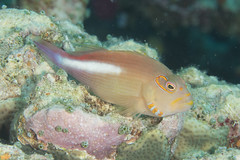 Arc-eye Hawkfish (maractwin) Tags: paracirrhitesarcatus arceyehawkfish fiji gau jimsalley scuba easterndivision fj