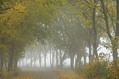 Herbst-Allee in Brunsholm - Ahorn (Acer sp.); Bergenhusen, Stapelholm (44) (Chironius) Tags: nebel fog brouillard niebla stapelholm bergenhusen schleswigholstein deutschland germany allemagne alemania germania  szlezwigholsztyn niemcy gegenlicht rosids malvids sapindales seifenbaumartige sapindaceae seifenbaumgewchse hippocastanoideae rosskastaniengewchse acer ahorn baum bume tree trees arbre  rbol arbres  rboles albero rvore aa boom trd