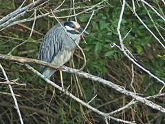 Yellow-crowned Night-Heron 2-20161205 (Kenneth Cole Schneider) Tags: florida miramar westbrowardwca