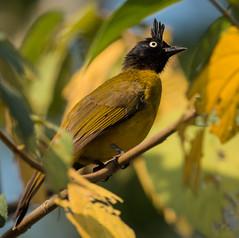IMG_2765  Black-crested Bulbul (ashahmtl) Tags: blackcrestedbulbul bulbul songbird pycnonotusmelanicterus kaengkrachannationalpark phetchaburiprovince thailand