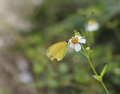 Lemon Emigrant (Mike_li) Tags: butterfly insect outdoor canon6d canon50mm18f lemon emigrant
