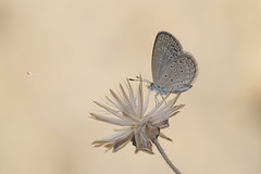 /  Zizina otis riukuensis (Matsumura, 1929) (Sam's Photography Life) Tags:         nature butterfly canon 1dx 1d 100mm