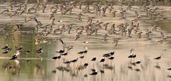 Ruffs - Flying (Afaque's Photography) Tags: ruff reeve birds birding wild wildlife pakistan sindh nawabshah
