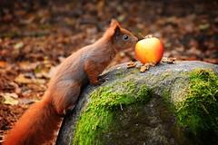 nnnnnuts...? (JoannaRB2009) Tags: lunch food apple fruit squirrel park feeding nuts autumn fall nature rock parkimksiciajzefaponiatowskiegowodzi d lodz polska poland animal