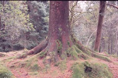 . (sullen_snowflakes) Tags: albero tree bosco wood norvegia norway bergen radici roots natura nature analog analogico petri fujifilm