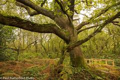 Clunderwen Oak (paulrutherford08) Tags: pembrokeshire countryside ferns moss oak tree woodland