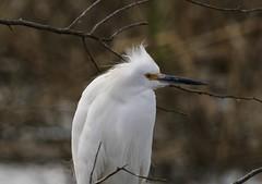 Snowy Egret (schreckpeter45) Tags: snowyegret egrets birds birding canoneos60d canontelephoto savannahnationalwildliferefuge