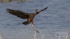 Morito comn (Plegadis falcinellus) (jsnchezyage) Tags: moritocomn plegadisfalcinellus ave fauna naturaleza birding bird