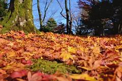 Fallen Maple (jpellgen) Tags: japan japanese nihon nippon  ishikawa kanazawa kenrokuen garden zen     asia nikon 2016 fall autumn sigma 1770mm d7000 leaves leaf momiji koyo maple november travel honshu park nature scenery