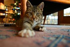 Buster (bluebird87) Tags: cat buster nikon d600 fx