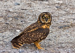 short eared owl (sussexscorpio) Tags: owl bird birdofprey asioflammeus shorteared genovesa galapagos island camouflage endemic archipelago southamerica ecuador canon canon60d wings brown tawny beak plumage tail feathers outdoor animal avis avian nature wild free fly